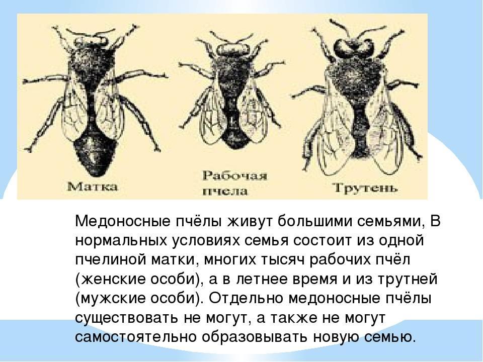 Пчела медоносная — как источник здоровья