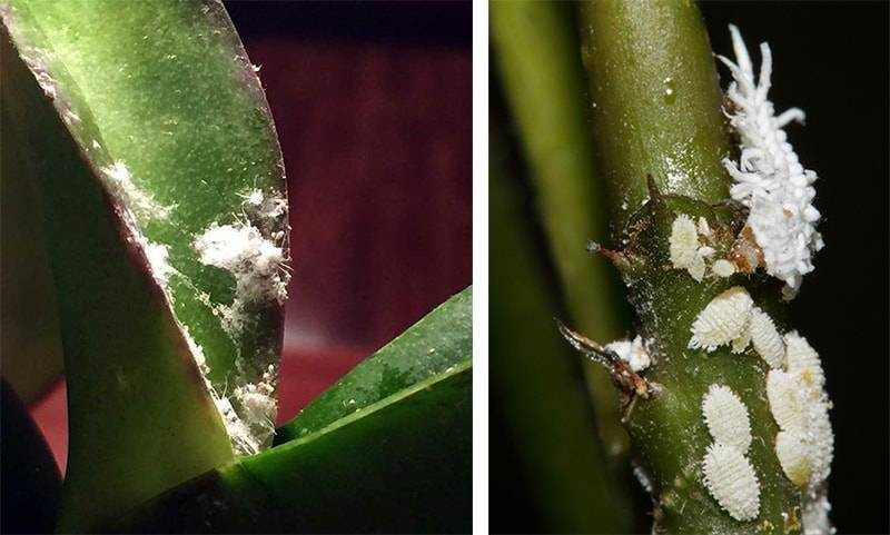 Как избавиться от мучнистого червеца на орхидее: меры борьбы, лечение болезни народными средствами, как удалять вредителей с бутонов, фото и видео от цветоводов
