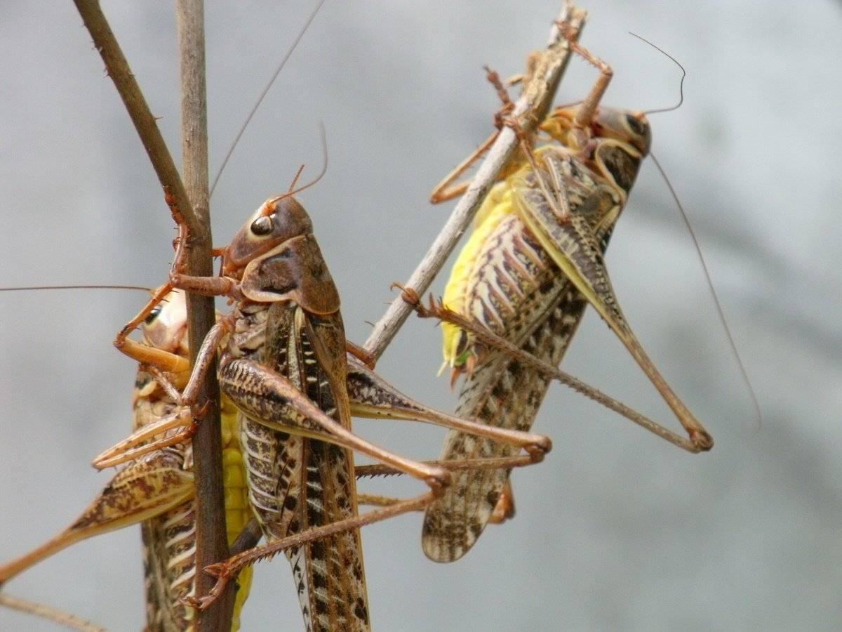 Насекомое саранча – самые крупные виды, описание