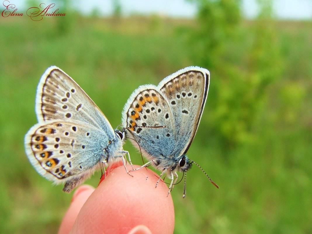 Голубянка арион | мир животных и растений