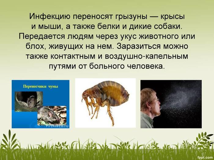 Чем можно заразиться от мышей и крыс? болезни, передающиеся человеку от грызунов