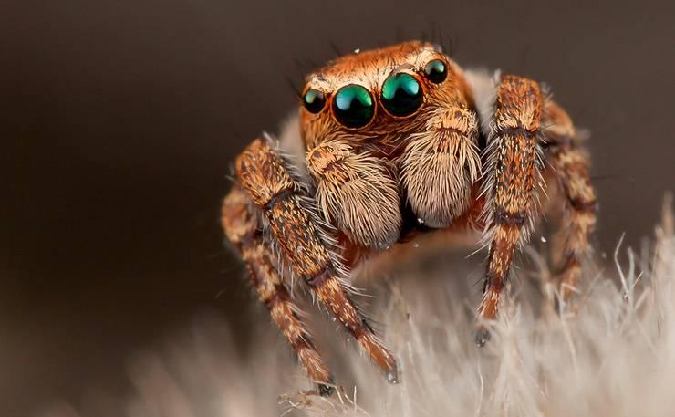Жизненный цикл пауков-скакунов: от яйца до взрослой особи