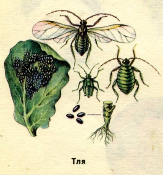 Как бороться в огороде с капустной мухой
