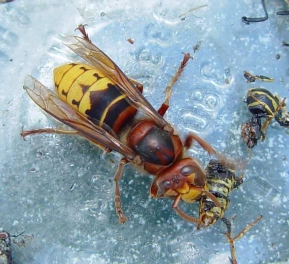 Матка осы – как живет царица полосатых насекомых?