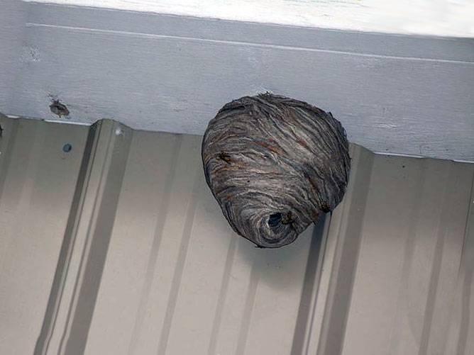 Осы свили гнездо на балконе: хорошая примета или плохая