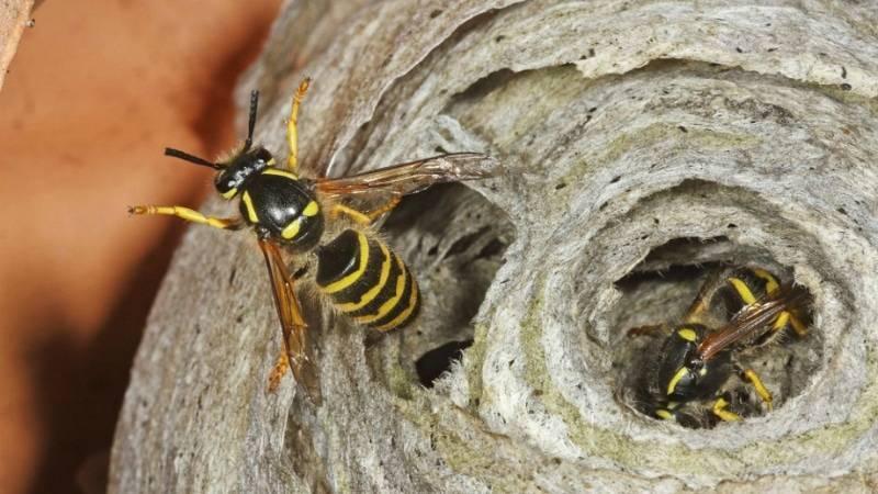 Земляные осы: как избавиться от гнезда на участке, методы борьбы