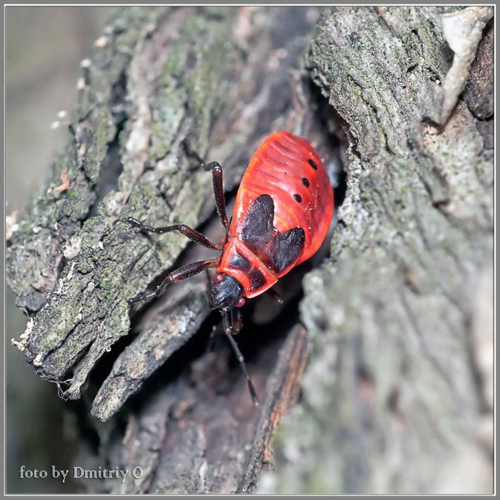 Красноклоп бескрылый (клоп-солдатик): польза и вред для человека