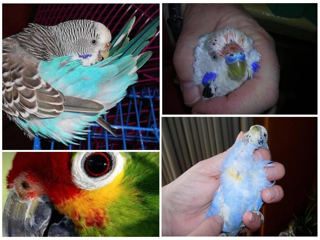Блохи у попугая: признаки появления, как избавиться от паразитов