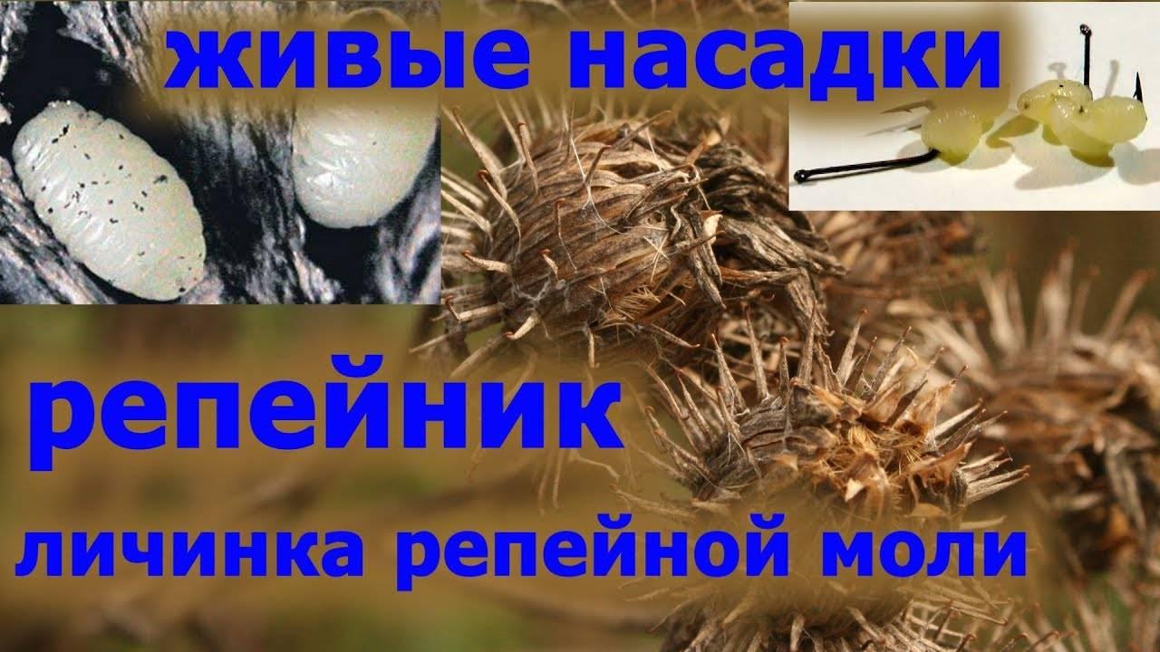 Как найти личинку репейной моли