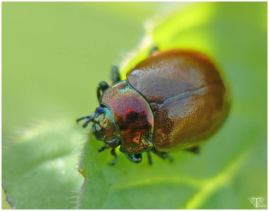 Хреновый листоед — википедия