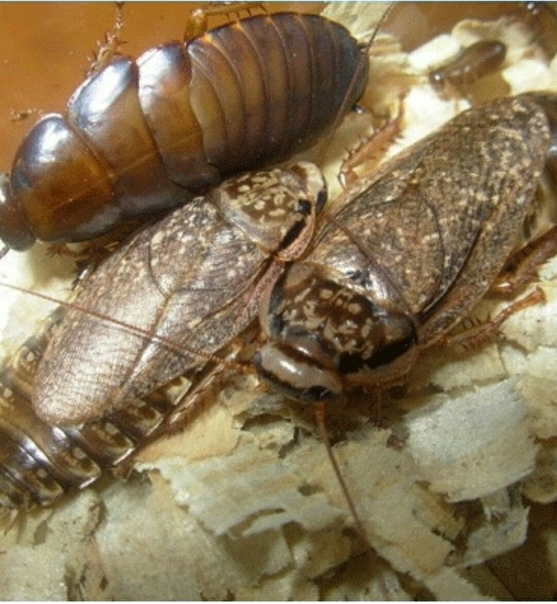 Мраморный кормовой таракан — отличная еда для ваших домашних варанов и ящериц. мраморные тараканы (nauphoeta cinerea): описание и содержание