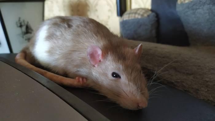 Что делать, когда крыса тяжело дышит, задыхается или хрюкает