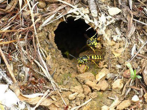 Где зимуют осы, спят ли насекомые в холодный период года? как спят животные куда деваются мухи зимой