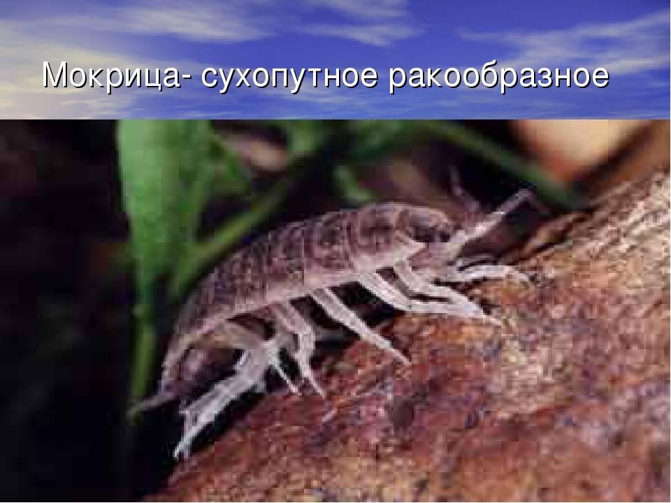 Насекомые мокрицы – фото и описание