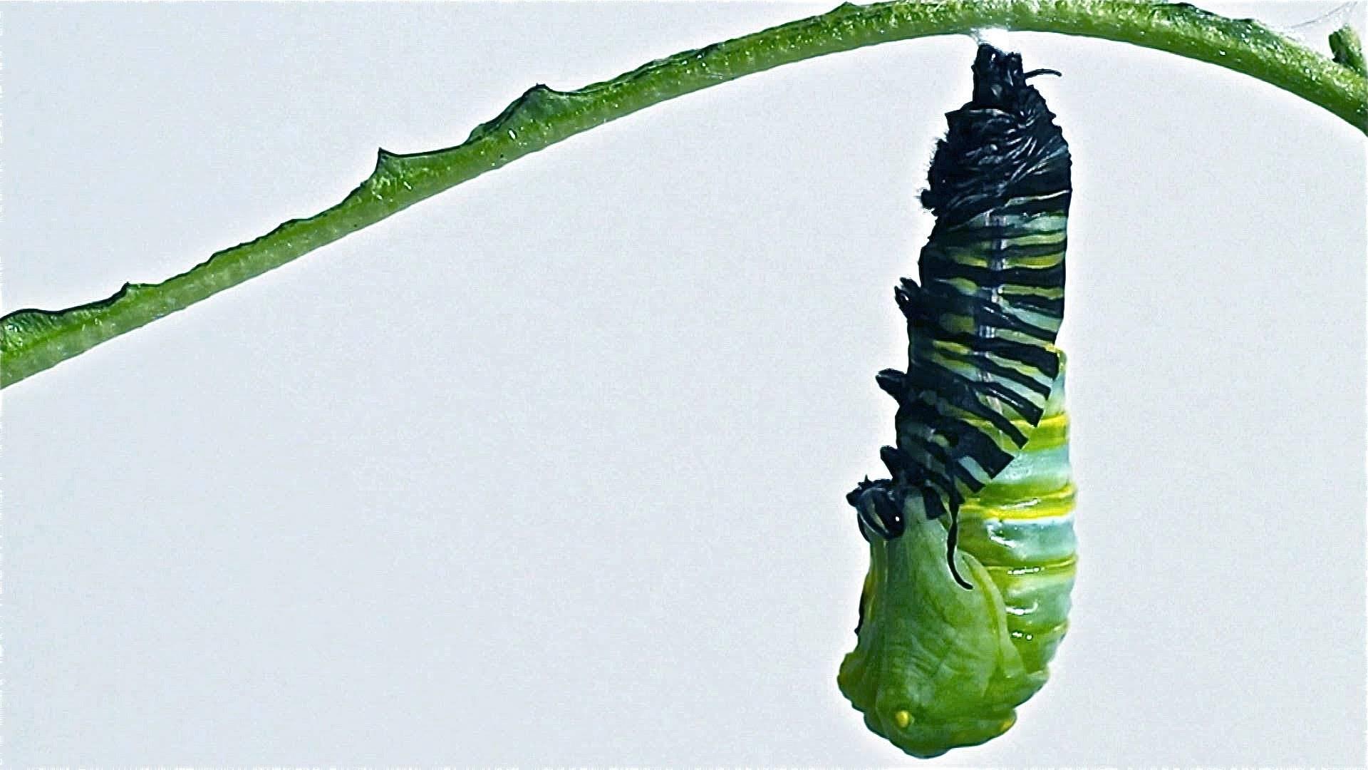 Британец нашёл в овощах гусениц, но не стал их выкидывать. он вырастил их и показал, какими бабочками те стали