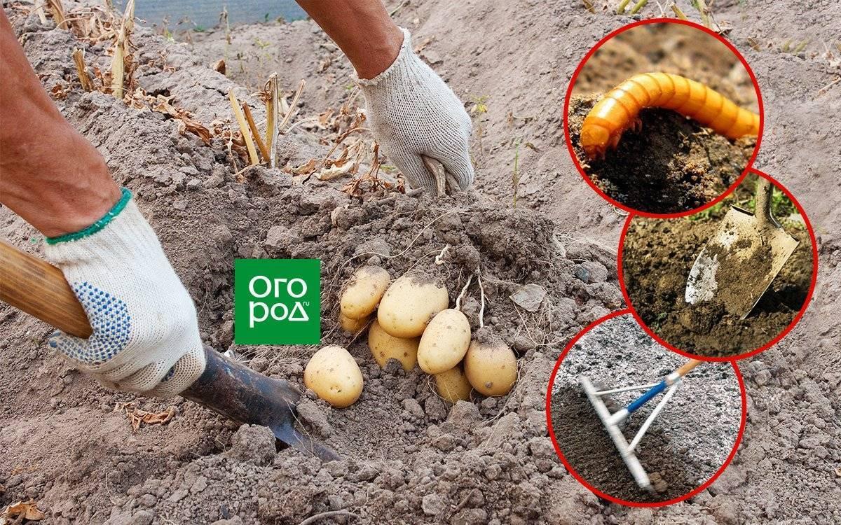 Как навсегда избавиться от проволочника на огороде: проверенные методы