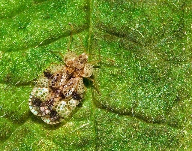 Какой вред наносит клоп-слепняк растениям и как от него избавиться? - мегарод