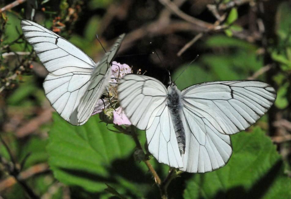 Доклад сообщение бабочка-капустница (описание для детей)