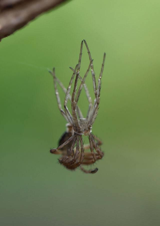 Линька паука-птицееда: сколько длится и как часто