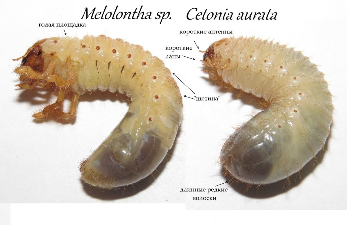 Чем отличаются личинки медведки и майского жука