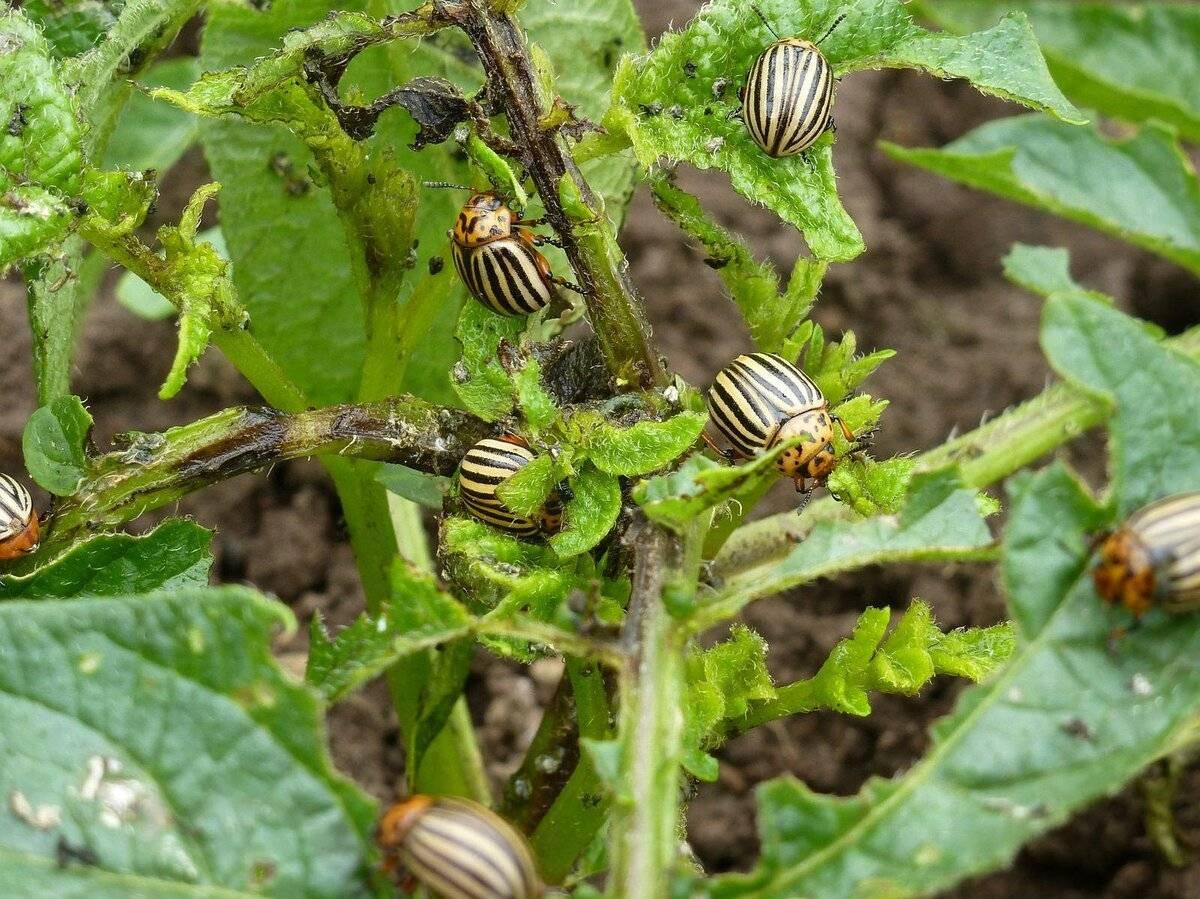 Колорадский жук - интересные факты