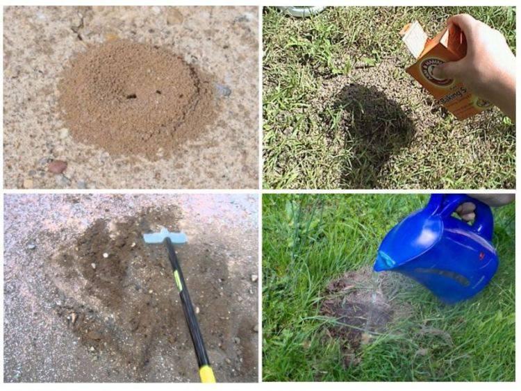 Лучшие способы борьбы с садовыми муравьями