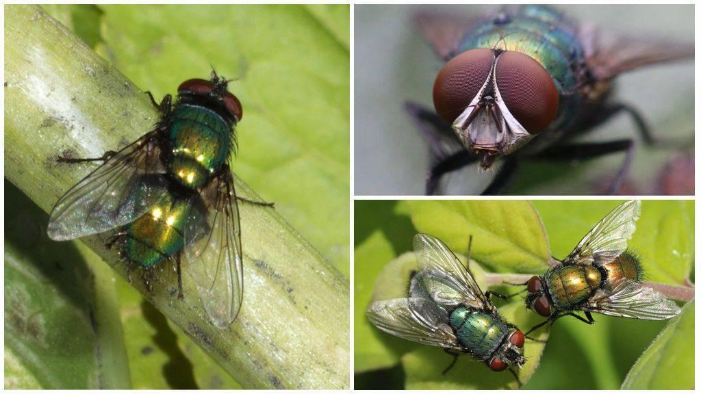Навозные мухи — википедия. что такое навозные мухи