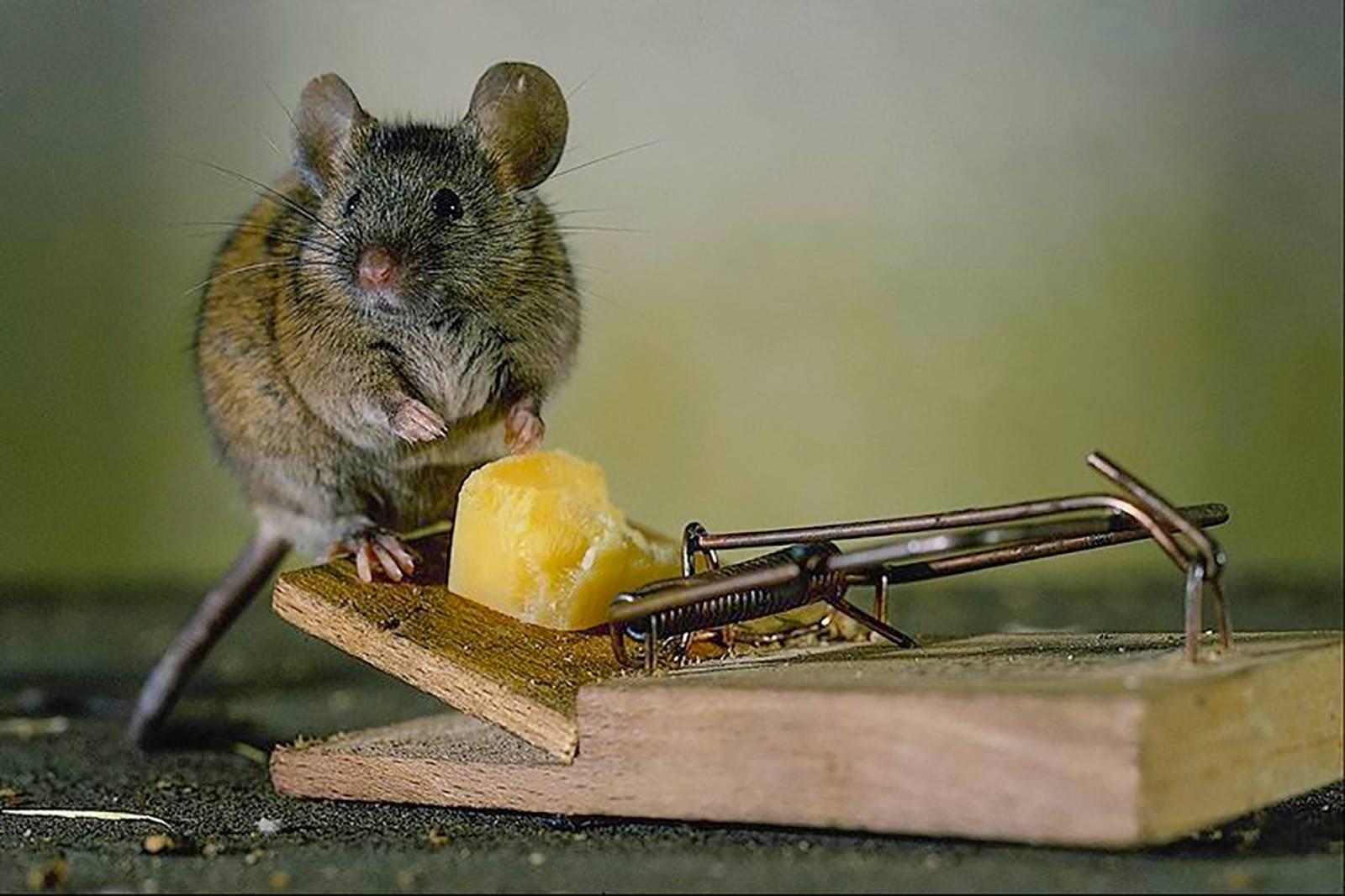 Чем кормить декоративных крыс? рекомендации специалиста!