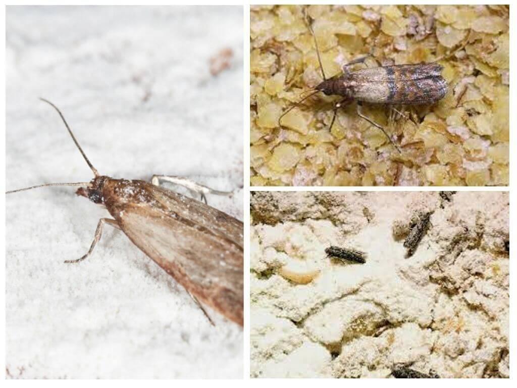 Жучки в крупе (31 фото): как избавиться от жуков навсегда, если завелись на кухне? как бороться с насекомыми в муке?