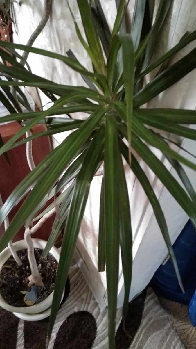 Мучнистый червец на комнатных растениях: способы борьбы