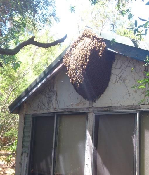 Роение пчел и меры его предупреждения: как предотвратить, искусственное роение
