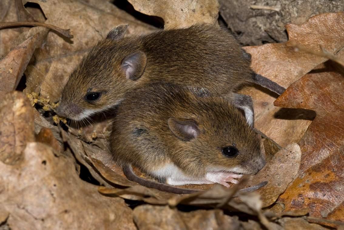 Домовая мышь - фото и описание