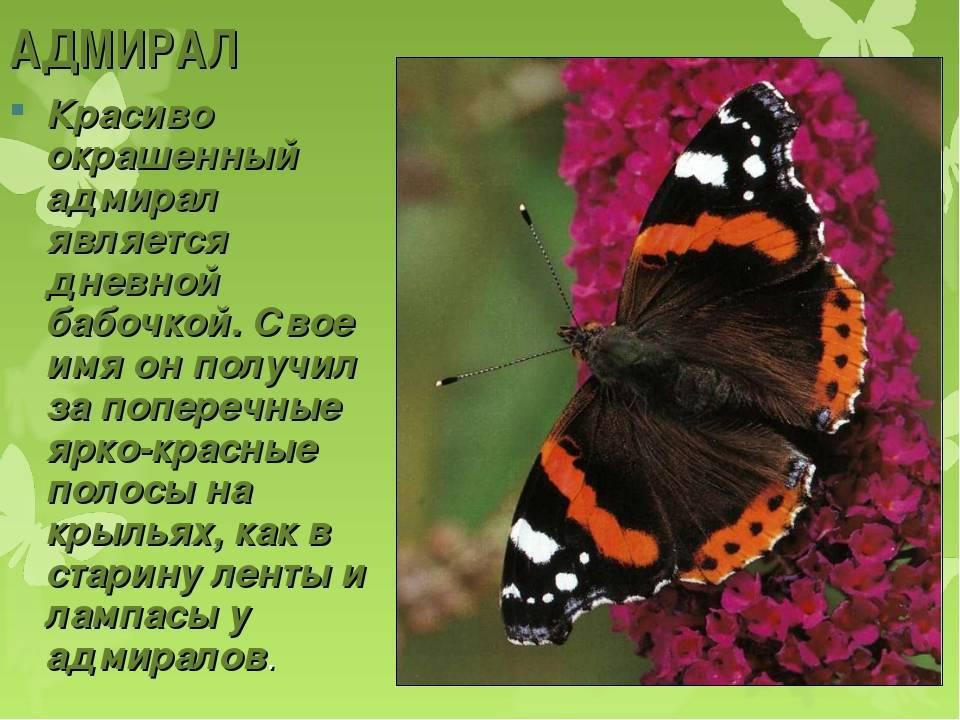 Презентация на тему бабочка адмирал