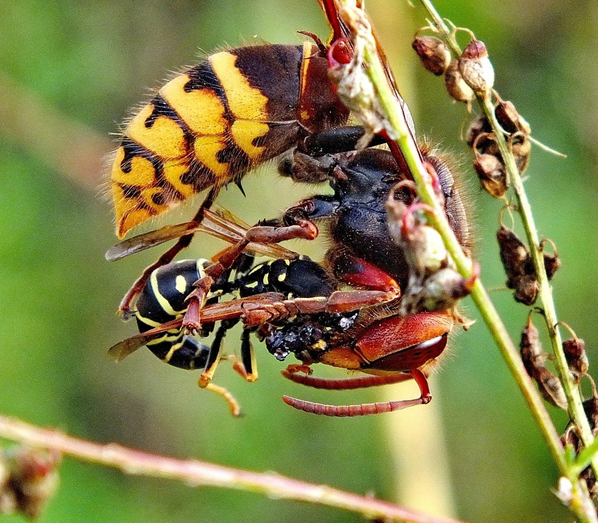 Какая польза и вред от ос в природе: уничтожение вредителей и урон для урожая