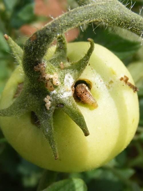 Гусеницы на помидорах - чем обработать томаты, если на растения напали вредители: советы как от них избавиться