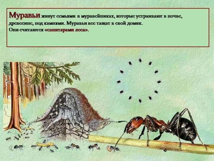 Муравей: подробное описание, виды, чем питается, где обитает