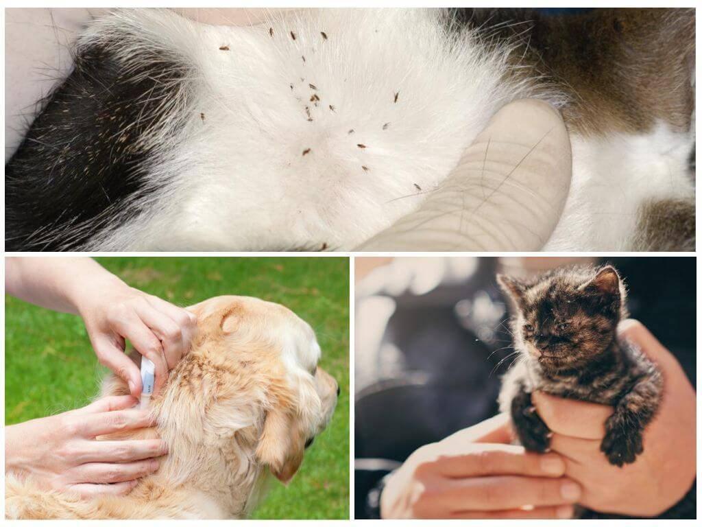 Руководство, как избавиться от блох у собак, средства избавления от паразитов