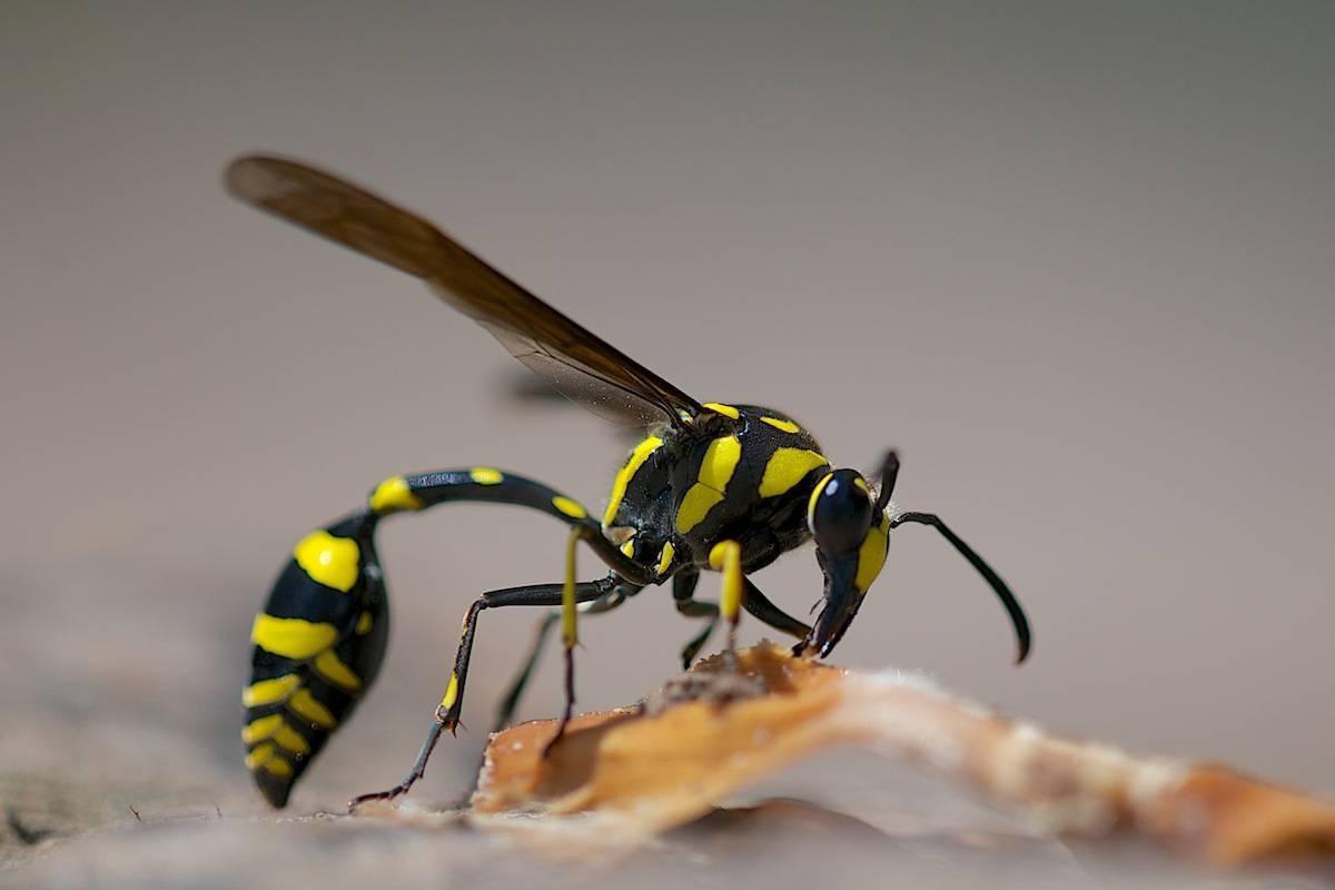 Осы: какие разновидности бывают? / как избавится от насекомых в квартире