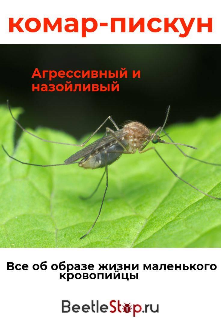 Комар-пискун – навязчивое насекомое, мешающее спать по ночам