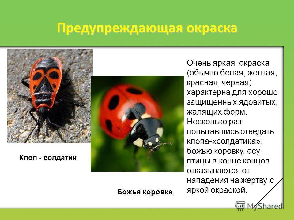 Клоп солдатик: характеристика вида, фото, питание, размножение, какой вред несет русский фермер