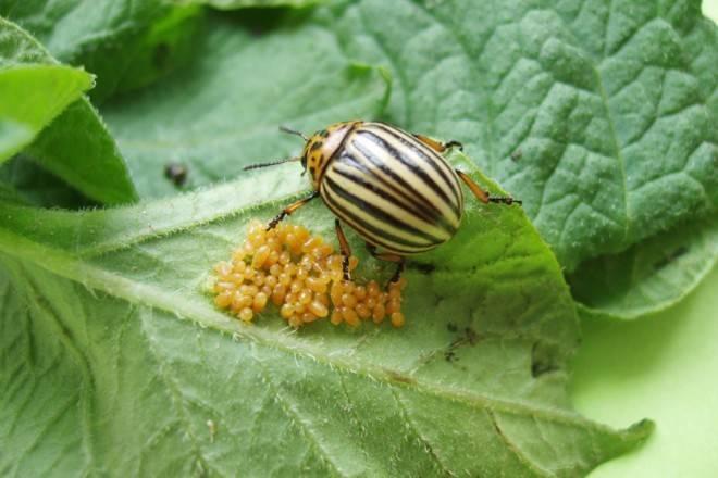 Как в россии появился колорадский жук. появление колорадского жука в россии   дачная жизнь