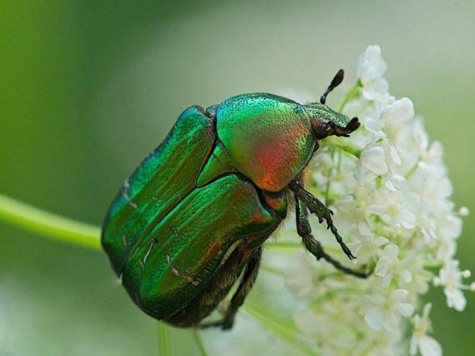 Старый, добрый майский жук – что кроется за безобидной внешностью?