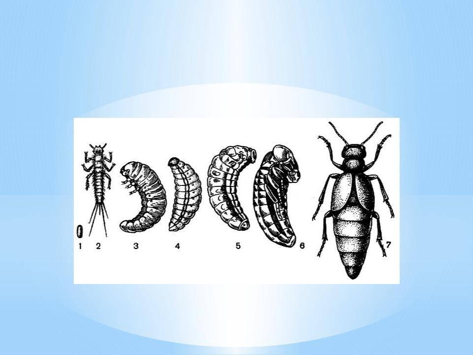 Особенности и образ жизни жука навозника, чем любит питаться — описываем все нюансы