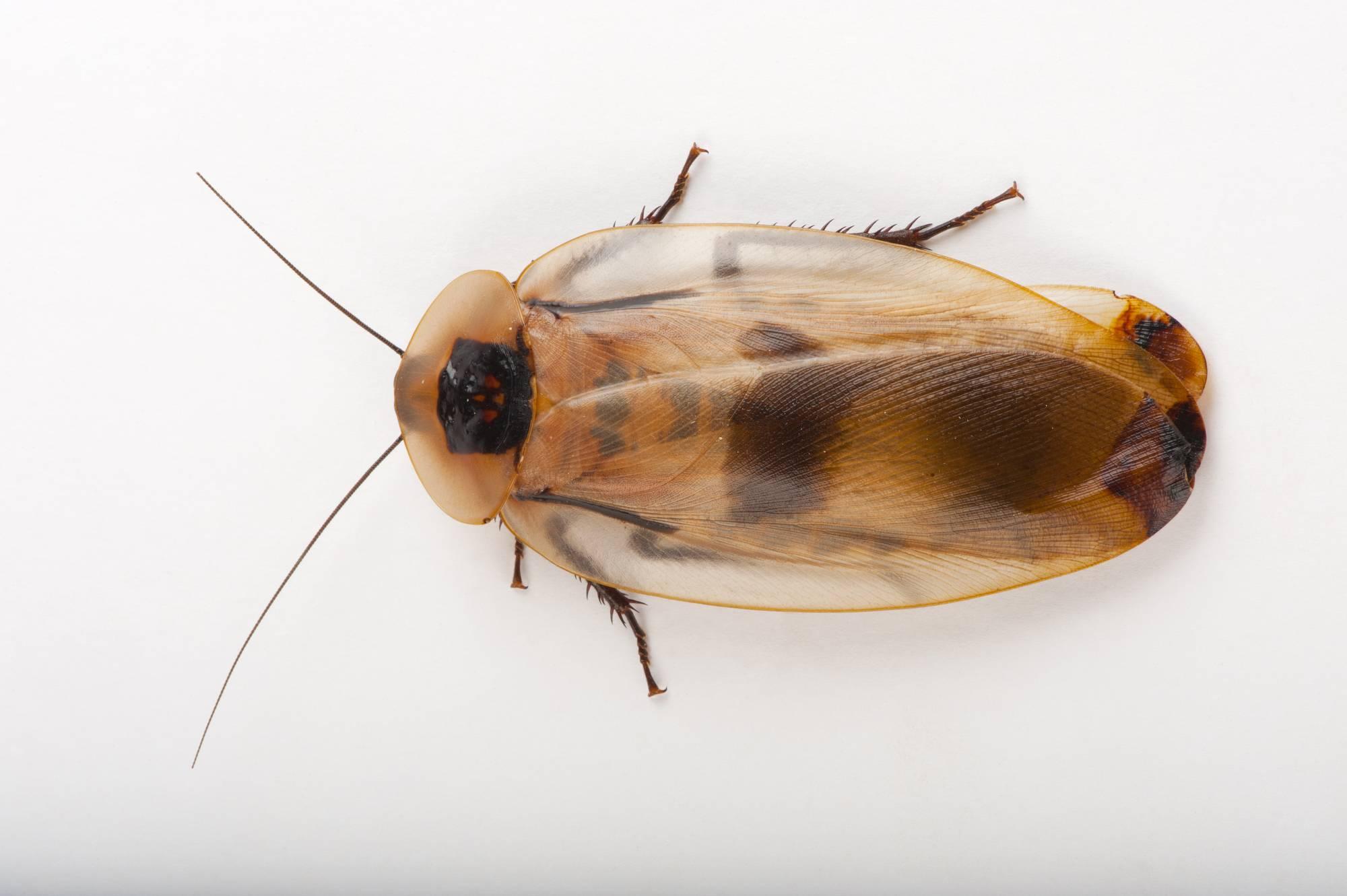 Кубинский таракан – необычный питомец из тропиков