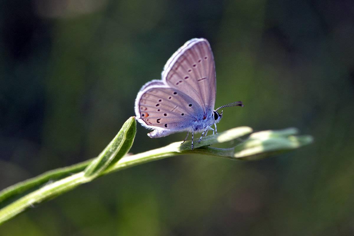 Бабочка голубянка: фото и разнообразие видов