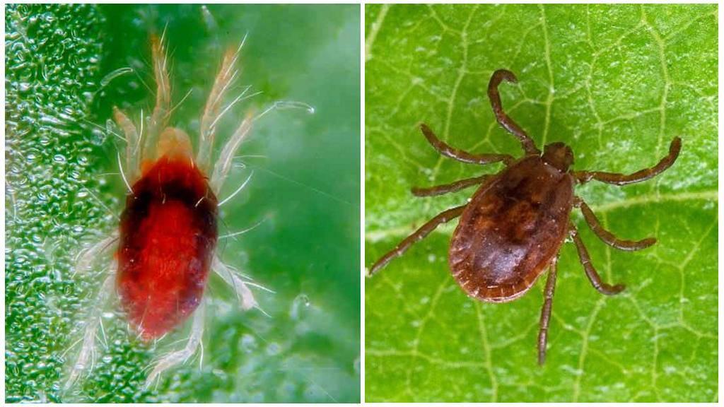 Виды паутинного клеща: как распознать вредоносного паразита?