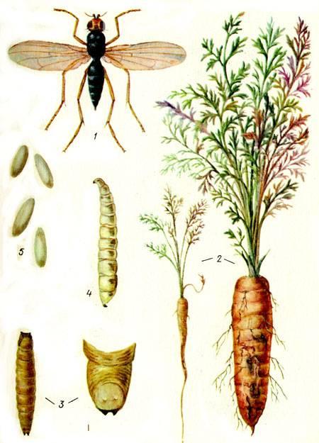Чем обрабатывать морковь от вредителей
