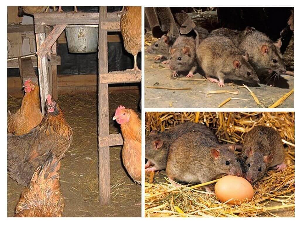 Как избавиться от крыс в курятнике: проверенные народные средства