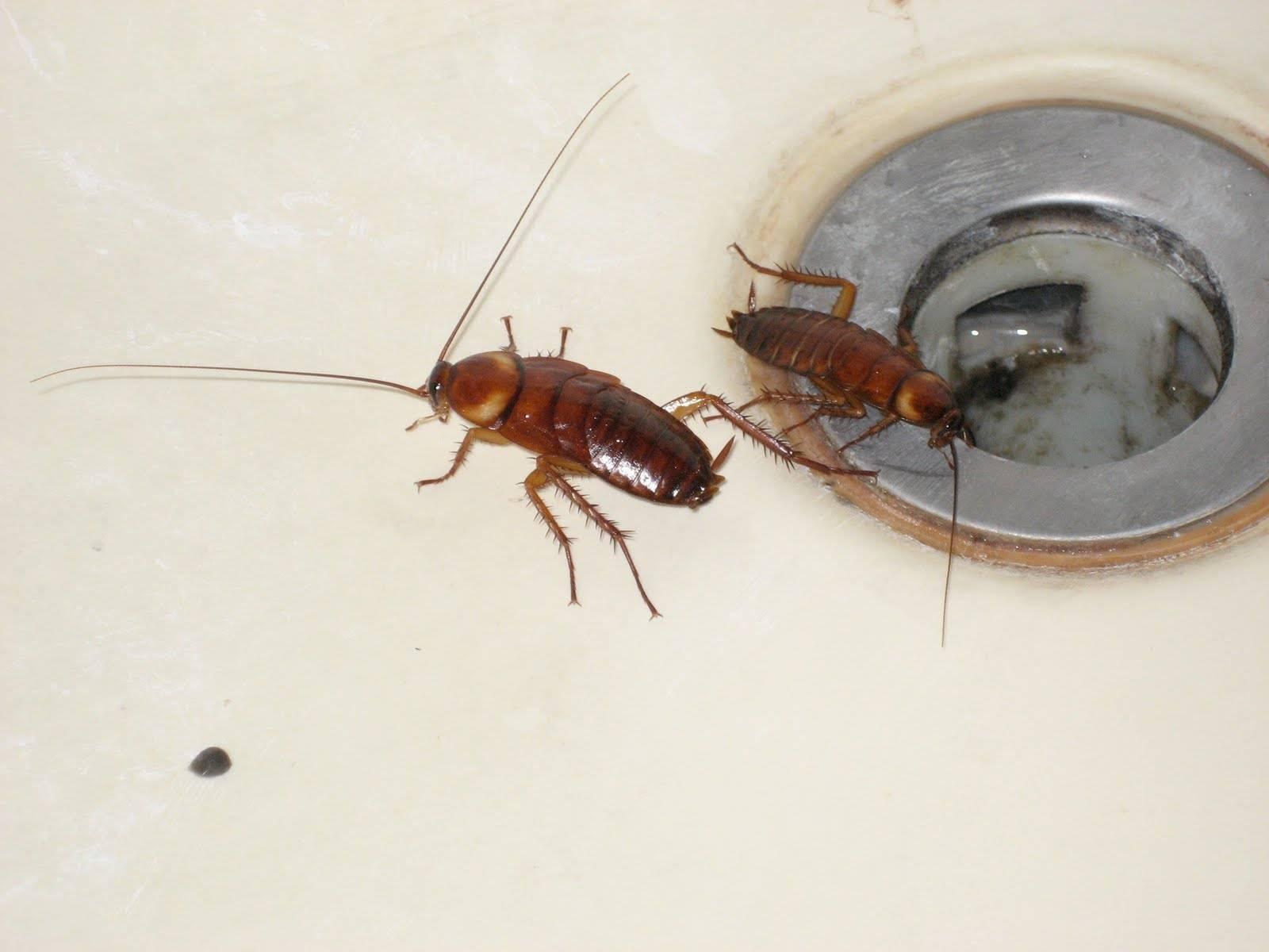 Тараканы: чем питаются, особенности ротового аппарата, что едят в квартире и сколько живут без еды