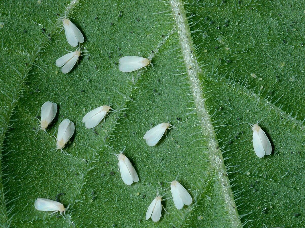 Белокрылка на комнатных растениях — как с ней бороться в домашних условиях